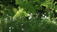 Field Chickweed, akkerhoornbloem,  Cerastium arvense,  03i Stock Footage