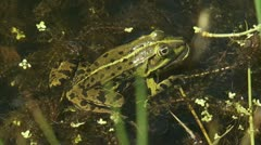 Green frog  - groene kikker - close up 01i Stock Footage