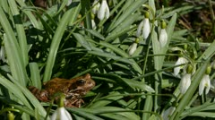 Frog european common and wind in snowdrops Stock Footage
