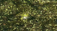 Stock Video Footage of green frog - rana esculenta - Pelophylax - groene kikker - close up 02i