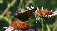 Dagpauwoog - inachis io - peacock butterfly  feeding on Echinacea purpurea 02p Stock Footage