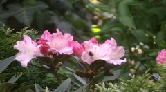 Rhododendron  - stock footage