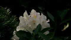 Rhododendron time lapse - stock footage