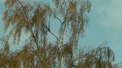 Silver Birch tree blown by strong winds - stock footage
