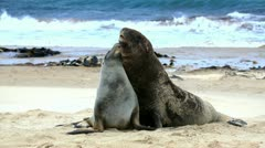 New zealand sea lions mating dance Stock Footage