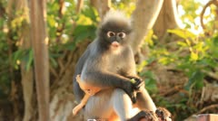 Baby and mother dusky leaf monkey HD Stock Footage