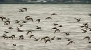 Stock Video Footage of shorebirds in flight