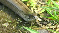 Slow Worm - Anguis fragilis - detail Stock Footage