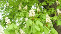 Chestnut blossom Stock Footage