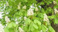 Chestnut blossom Stock Footage