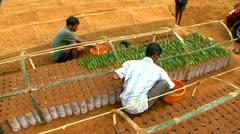 Planting Cutting At Tea Nursery Top Angle Stock Footage