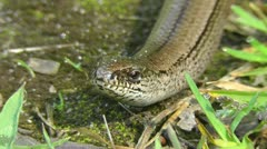 Slow Worm - Anguis fragilis Stock Footage