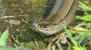 Stock Video Footage of Slow Worm - Anguis fragilis