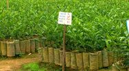 Grown Seedlings At Tea Nursery Stock Footage