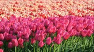Stock Video Footage of Field of Tulips