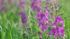 Purple Alpine Fireweed Stock Footage