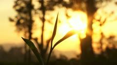 Tea Garden Vista Sunrise 2 Stock Footage