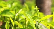 Tea Leaves and Bud Sri Lanka 2 Stock Footage