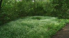 Stellaria nemorum - Wood stitchwort - bosmuur - forestflowers 01p Stock Footage
