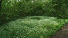 Stellaria nemorum - Wood stitchwort - bosmuur - forestflowers 01i Stock Footage