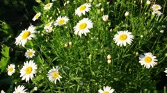 Camomiles at summer Stock Footage