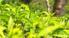 Stock Video Footage of Tea Leaves and Bud Sri Lanka Rack Focus