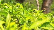 Tea Leaves and Bud Sri Lanka Rack Focus Stock Footage