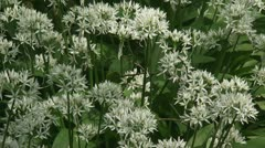 Wild garlic - daslook - Allium ursinum - Ramsons 01p Stock Footage