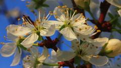 Cherry tree flowers macro Stock Footage