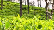 Tea Leaves and Bud Sri Lanka Rack Focus 3 Stock Footage