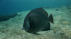 Angel Fish - stock footage