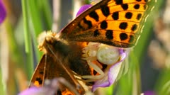 Goldenrod crab spider with butterfly Stock Footage