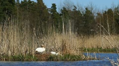 Mute swans nesting - stock footage