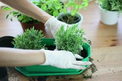 Gloved hands planting a seedling into flower pot NTSC Stock Footage