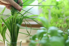 Hand cutting fresh green chives with scissors NTSC - stock footage