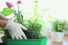 Replanting flower NTSC Stock Footage