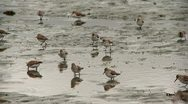 Stock Video Footage of shorebirds