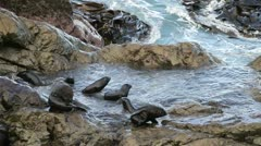 Fur seals playing - stock footage