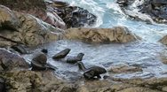Fur seals playing Stock Footage