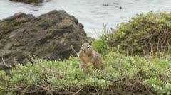 Ground squirrel on shoreline of Pacific Ocean Stock Footage