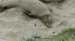 Sea Lion flings sand on himself Stock Footage