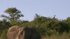 Elephants 71 Stock Footage