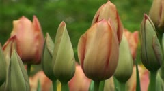 Tulipa Stunning Star Stock Footage