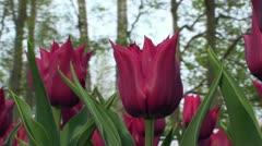 Tulipa Lasting Love Stock Footage