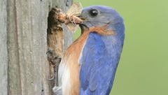 Male Eastern Bluebird (Sialia sialis) feeding his babies Stock Footage