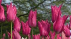 Tulipa Mariette Stock Footage