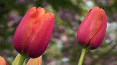 Tulipa Avignon Stock Footage