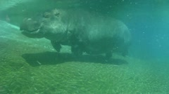 Hippo swimming underwater on sunny day, slow motion - stock footage