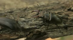 Two beetles Stock Footage
