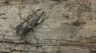 Stock Video Footage of Movement of stag beetle in different directions